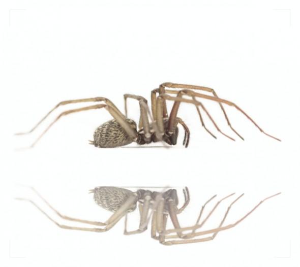 Spinne gespiegelt