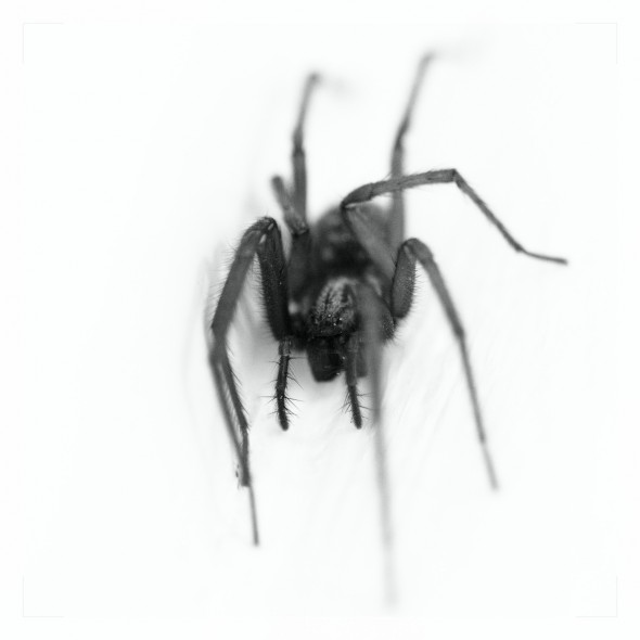 Spinne von vorn