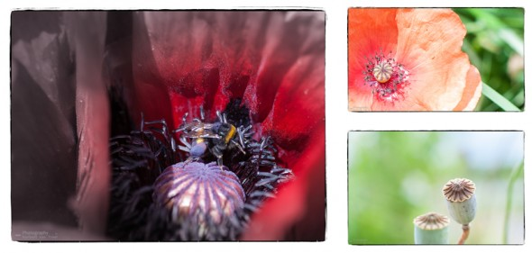 collage-mohn-2